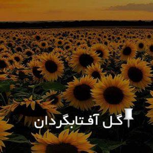گل آفتابگردان