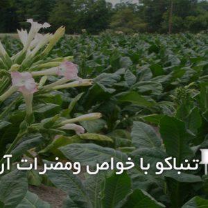 گیاه تنباکو